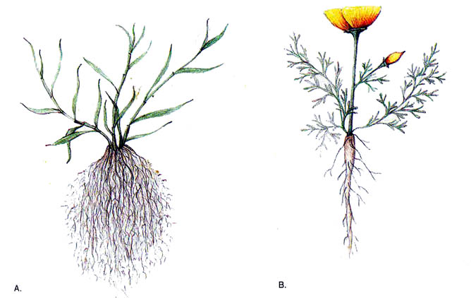 Fibrous root clipart.