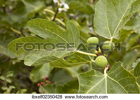 """Pictures of """"Common Fig (Ficus carica), Majorca, Spain, Europe."""