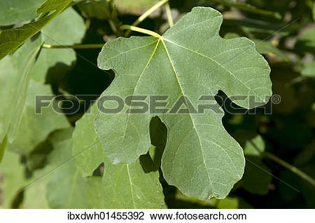 """Stock Photo of """"Common fig (Ficus carica), leaf"""" ibxdwh01455392."""