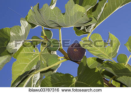 Stock Images of Common figs (Ficus carica) on the branch.