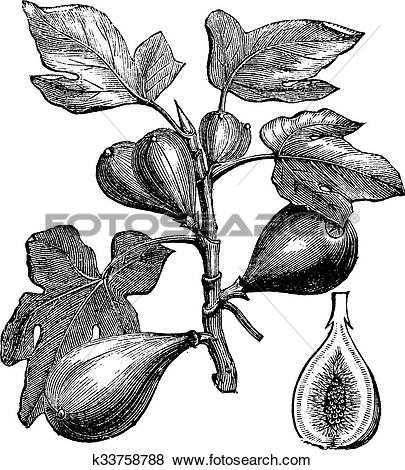 Clip Art of Common Fig or Ficus carica, vintage engraving.