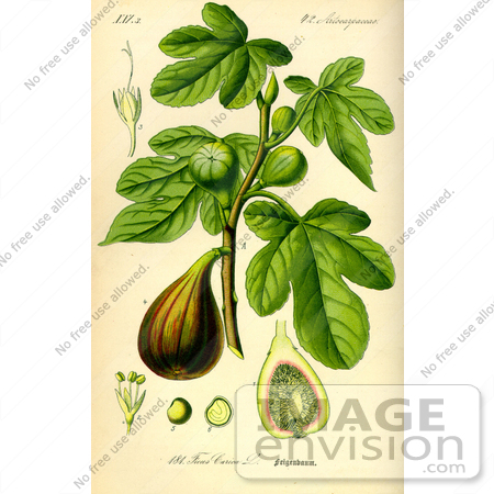 Picture of Common Fig (Ficus carica).