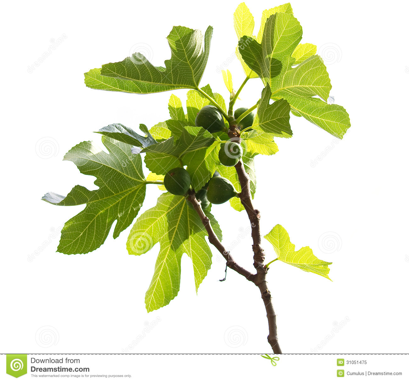 Common Fig. Ficus Carica. Royalty Free Stock Photo.