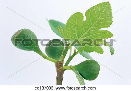Stock Photo of Fig (Ficus carica) cd137003.