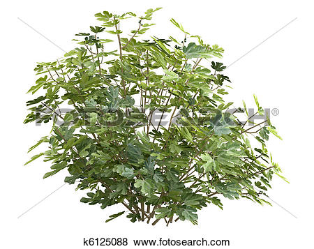 Stock Illustration of Fig or Ficus carica k6125088.