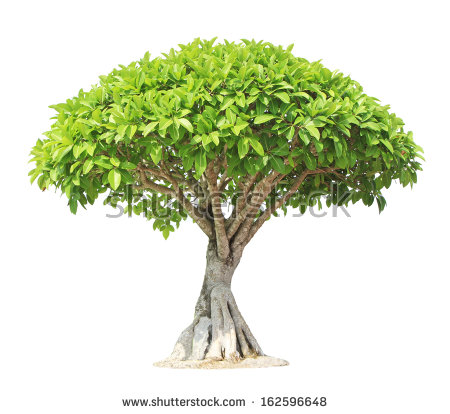 Ficus Tree Stock Photos, Royalty.