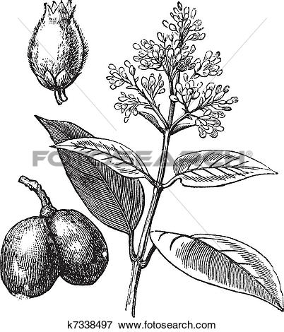 Clip Art of Indian Rubber Tree or Ficus elastica, vintage.