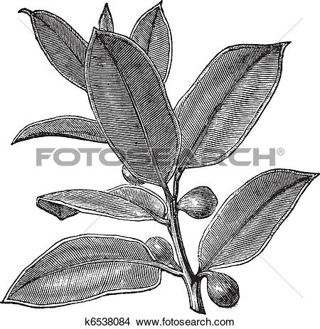 Clipart of Rubber Plant or Rubber Fig or Rubber Bush or Indian.