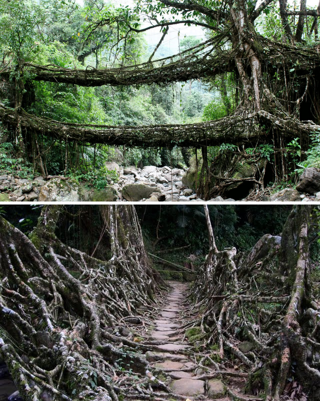 Living Root Bridges in Cherrapunji, India The Ficus elastica tree.