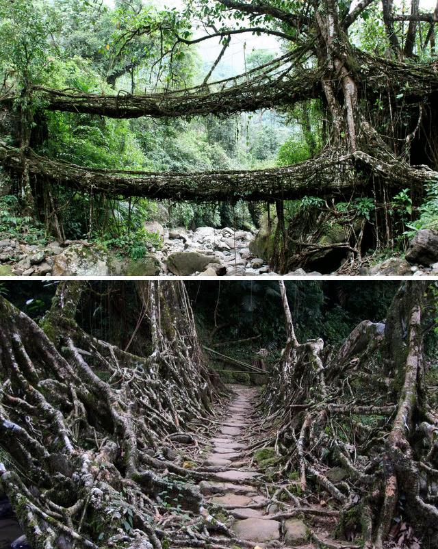 Living Root Bridges in Cherrapunji, India The Ficus elastica tree.