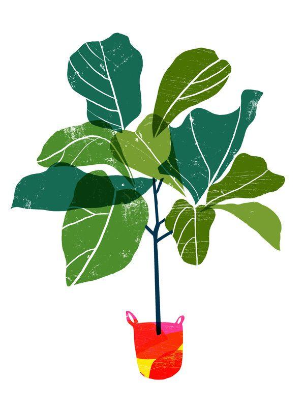 Fiddle Leaf Fig Tree by Ana Zaja Petrak on.