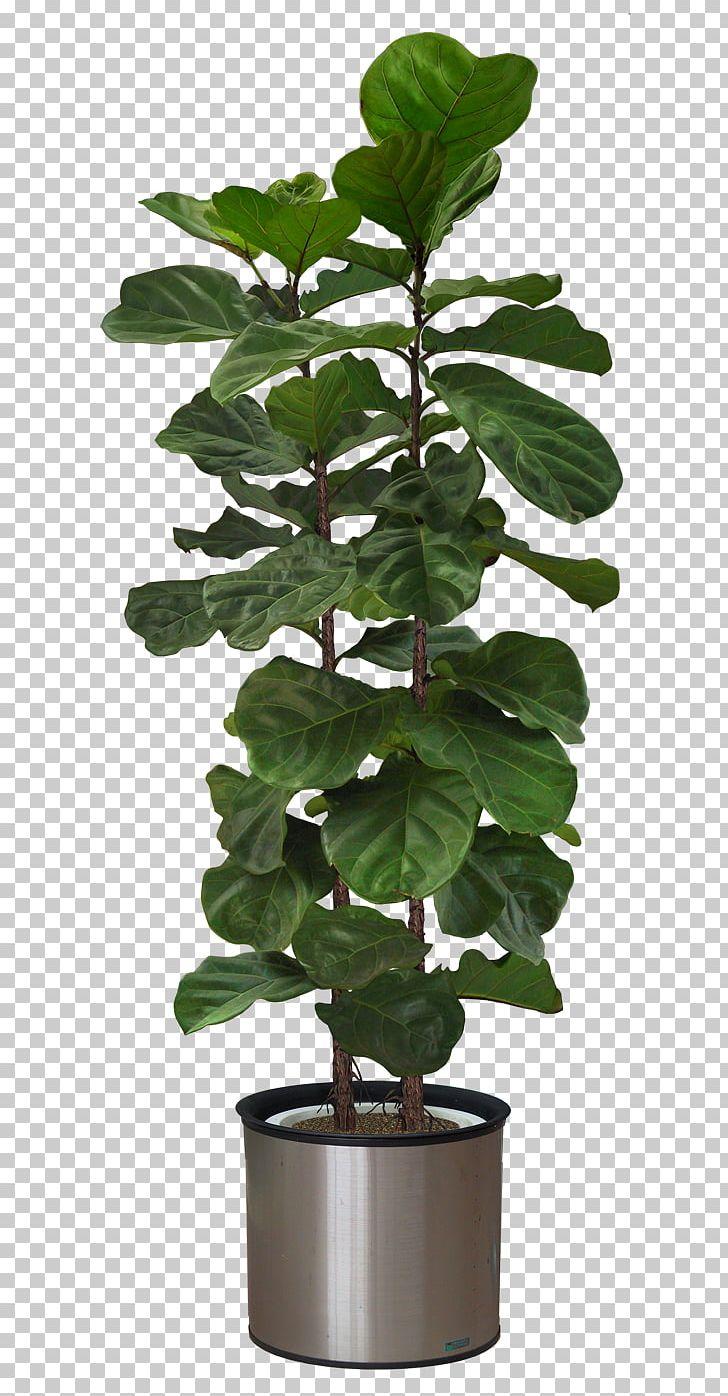Plant Persian Carpet Fiddle Leaf Fig Furniture PNG, Clipart.