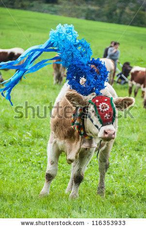Cow Walks Lizenzfreie Bilder und Vektorgrafiken kaufen.
