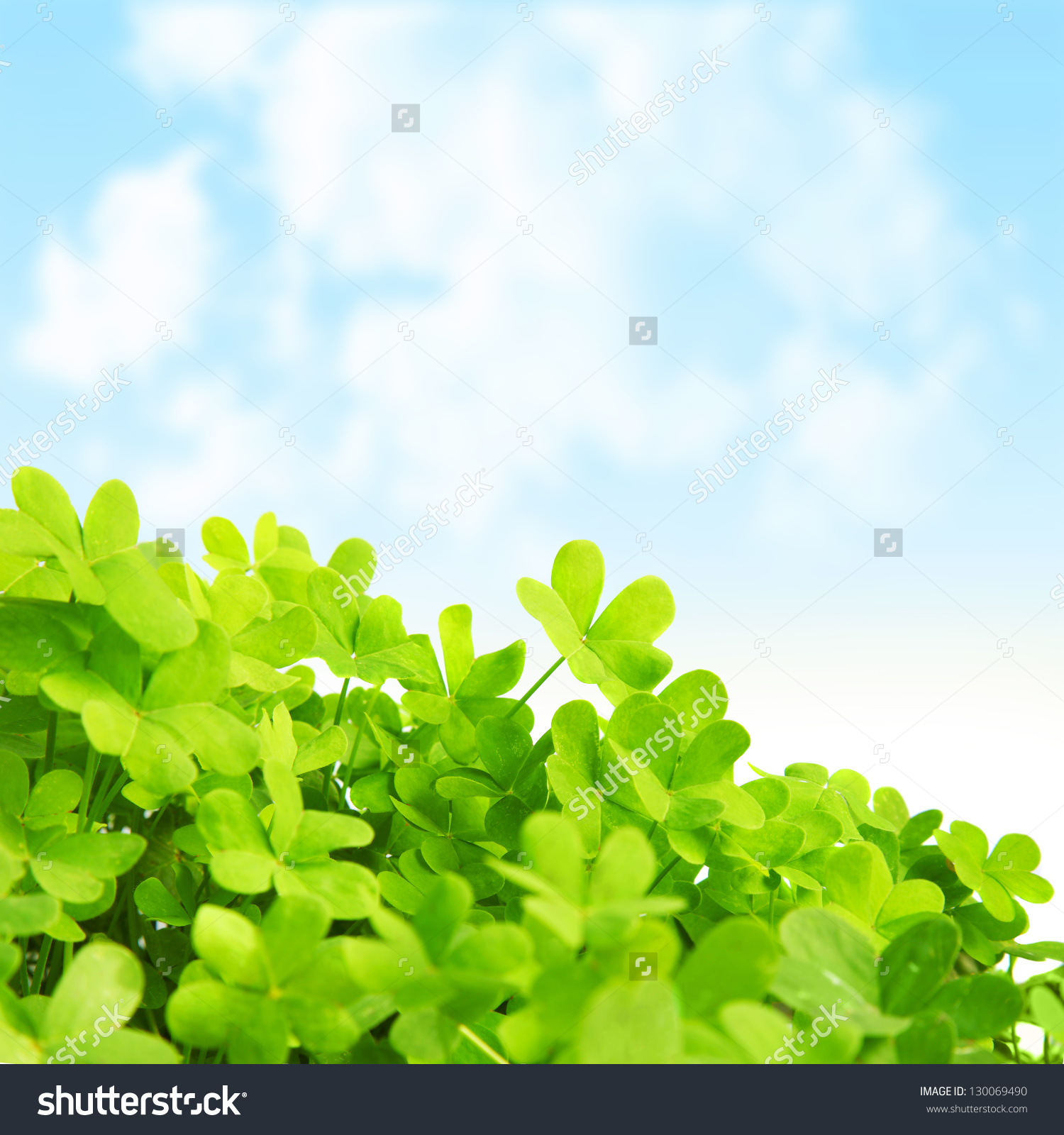 Picture Green Clover Field Stpatricks Day Stock Photo 130069490.