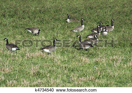 Stock Photography of Canada Geese ( in clover field ) k4734540.