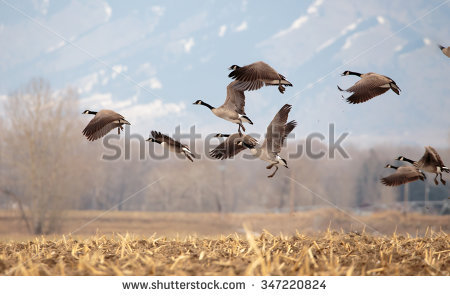 Goose Hunting Stock Images, Royalty.