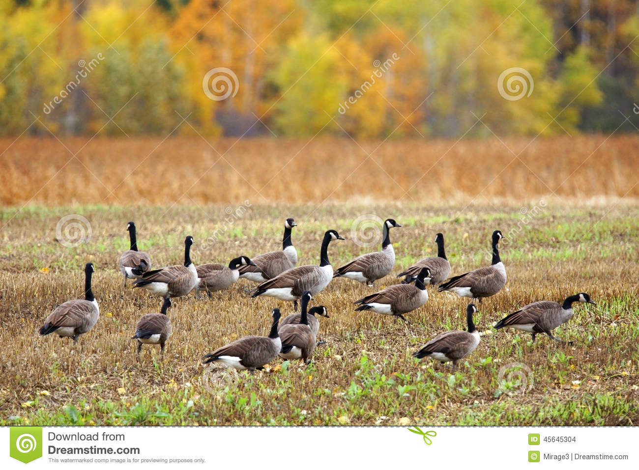 Canada Geese In A Field Stock Photo.