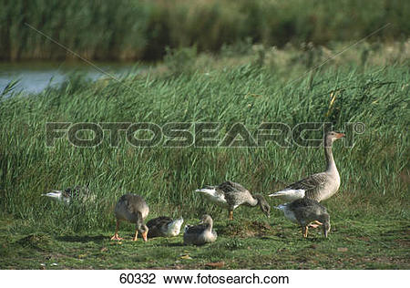 Stock Photo of Flock of Grey Goose (Anser anser) in field 60332.