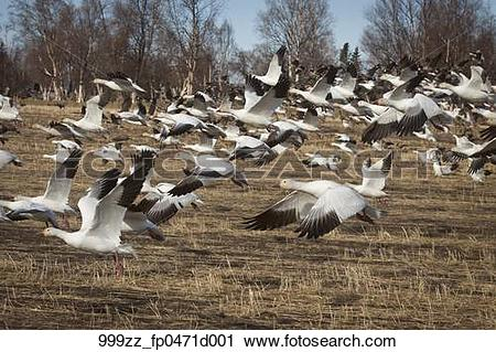 Stock Photography of Flock of Snow Geese fly close to the ground.