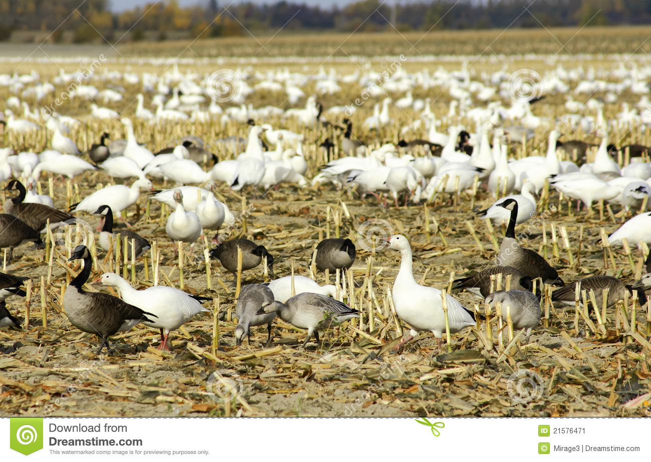 Canadian And Snow Geese In Cut Corn Field Stock Image.