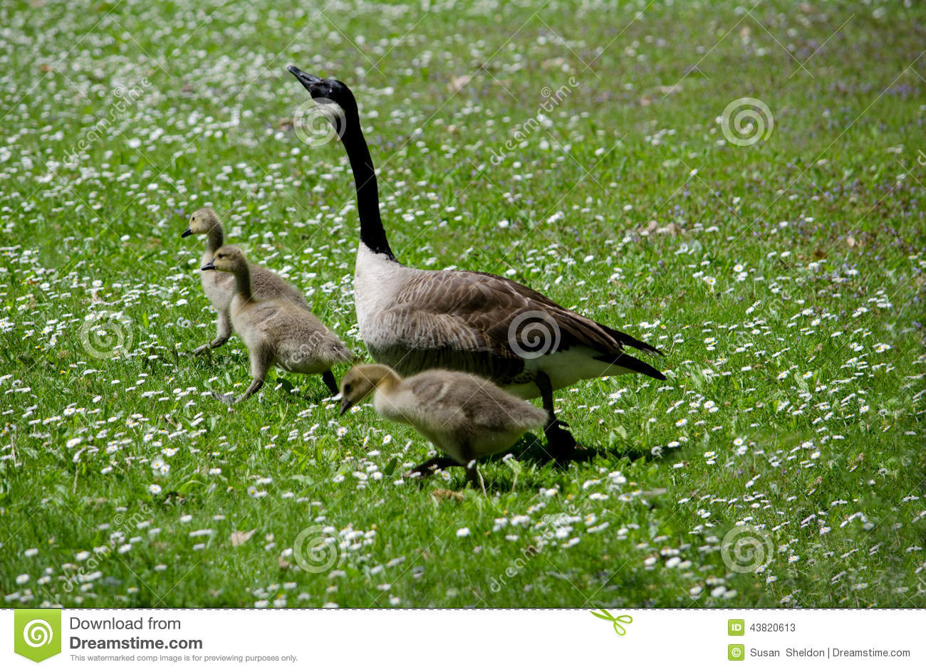 Mom And Baby Geese In A Field Of White Stock Photo.