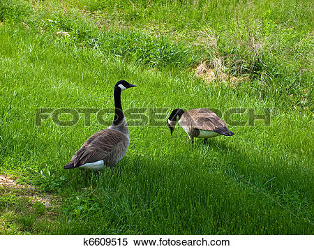 Stock Image of Two Canadian Geese in a Grassy Field k6609515.