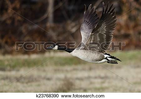 Stock Photography of Canada Goose Taking to Flight from an Autumn.