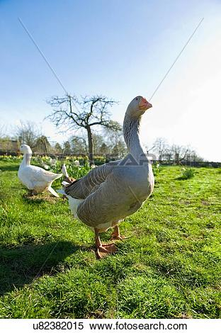 Stock Image of Portrait of a goose and gander in spring field.