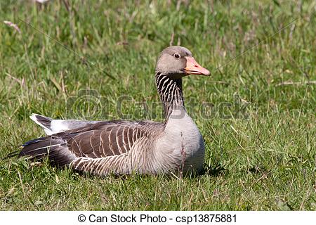 Pictures of Greylag goose laying in a field.