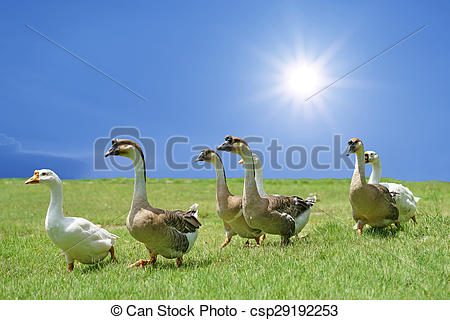 Stock Images of group of domestic goose walking on the field with.