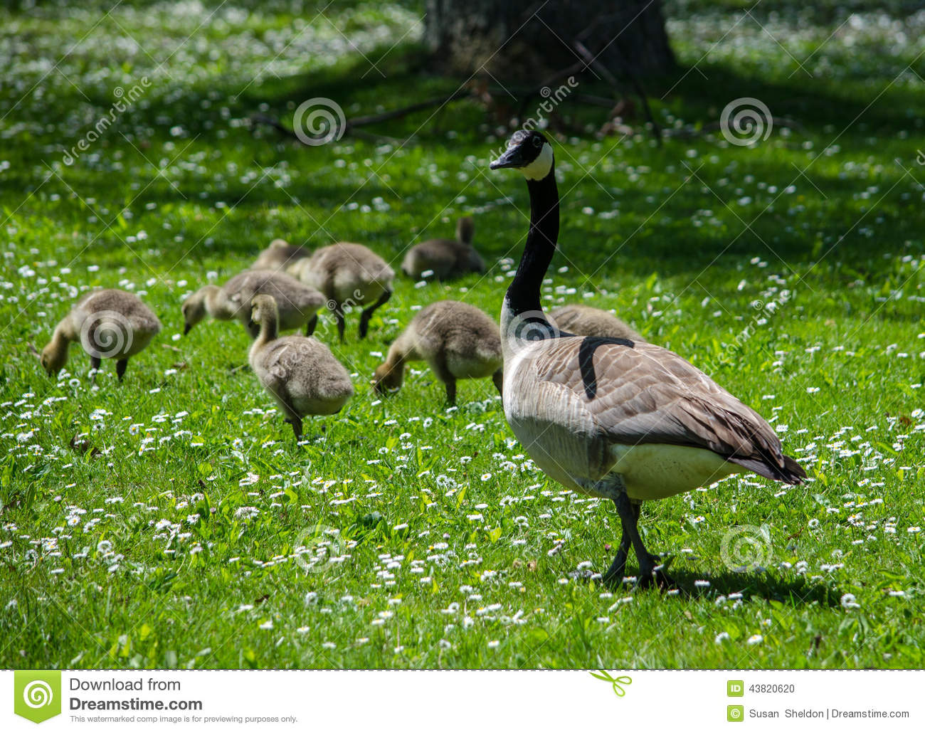 Mom And Baby Geese In A Field Of White Daisies Stock Photo.