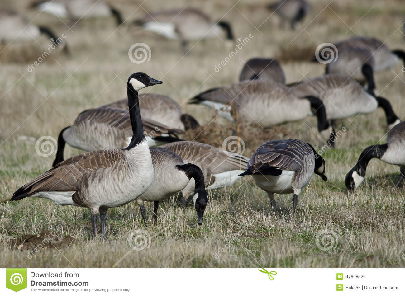 Canada Geese Feeding And Resting In The Autumn Field Stock Photo.
