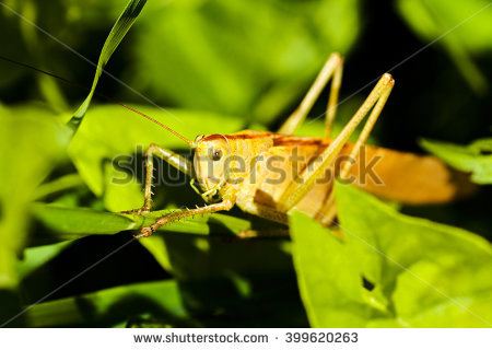 Common Locust Stock Photos, Royalty.