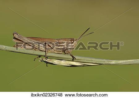 Pictures of Common field grashopper (Chorthippus brunneus.
