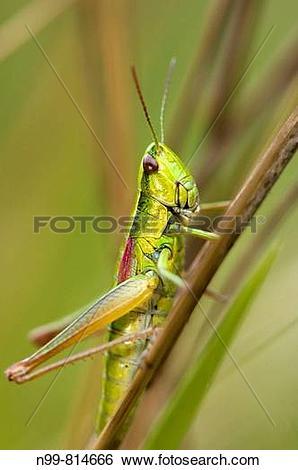 Stock Images of Small gold grasshopper (Euthystira brachyptera.