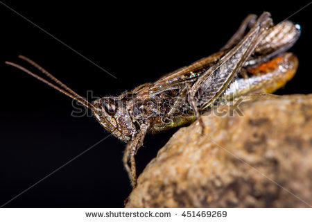 Field Grasshopper Stock Photos, Royalty.