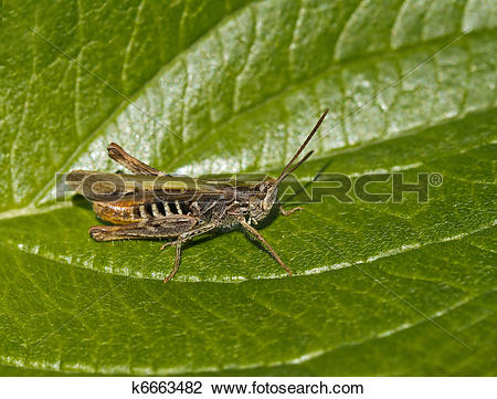 Stock Photo of Field Grasshopper k6663482.