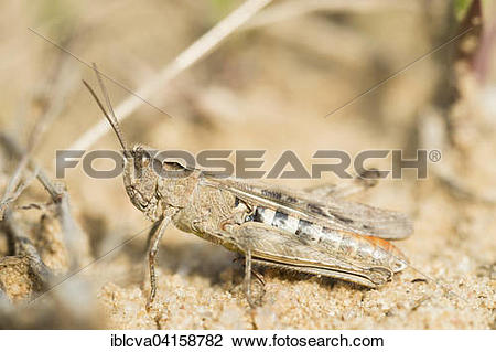 Stock Photo of Common field grasshopper (Chorthippus brunneus.