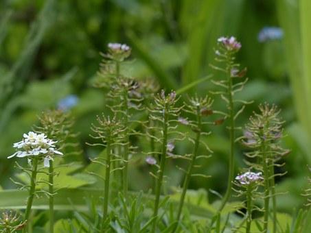 Brassicaceae.