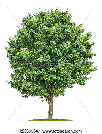 Stock Illustration of isolated field maple tree on a white.
