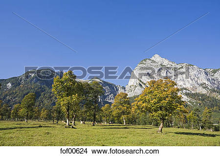 Stock Photo of Austria, Tirol, Karwendel, Field maple trees.