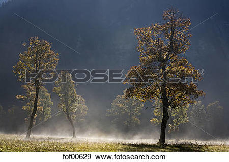 Stock Photograph of Austria, Tirol, Karwendel, Field maple trees.