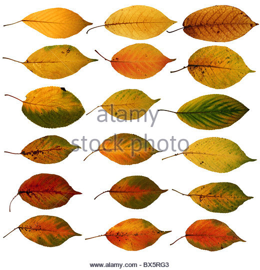 Field Maple Leaf Uk Stock Photos & Field Maple Leaf Uk Stock.