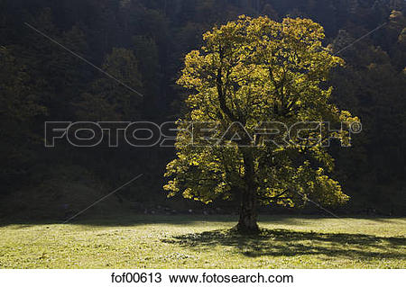 Stock Photo of Austria, Tirol, Karwendel, Field maple tree.
