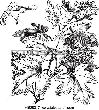 Clip Art of Field Maple or Hedge Maple or Acer campestre, vintage.