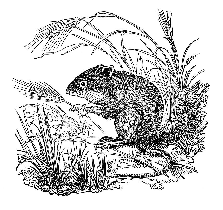 Field mouse clipart.