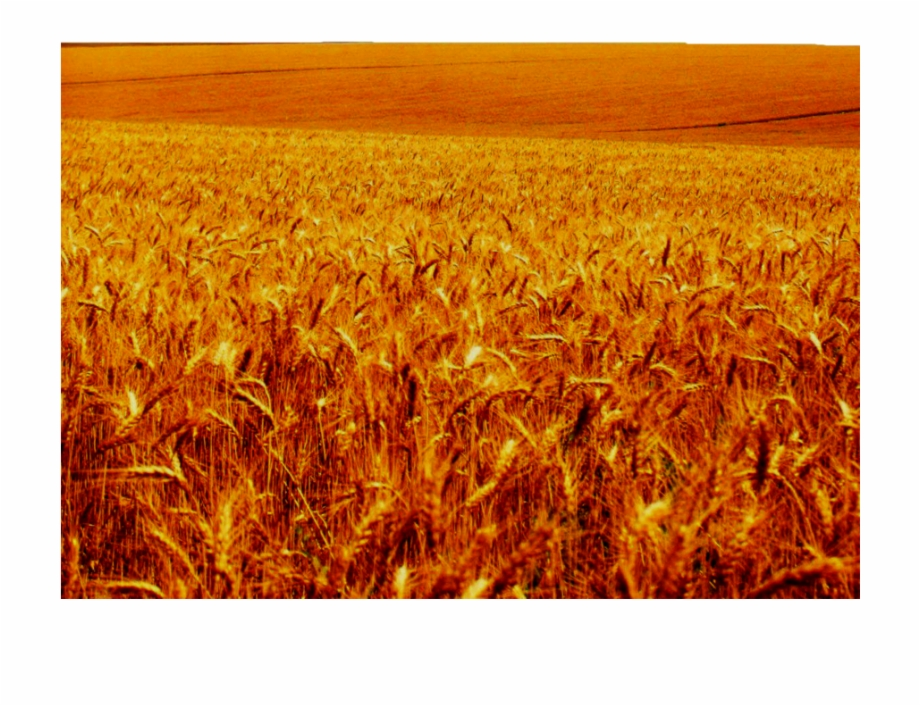 Png Freeuse Library Crops Clipart Barley Field.