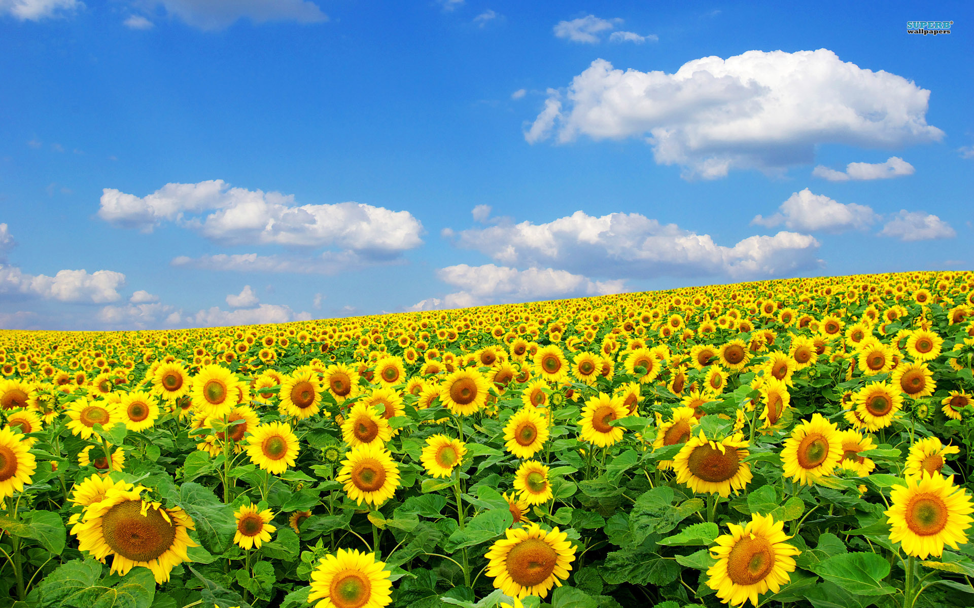 Field of sunflowers clipart.