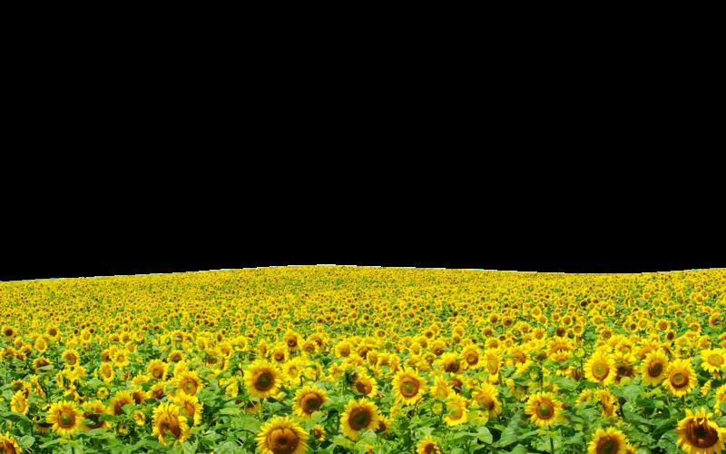 Sunflower Field Picture.