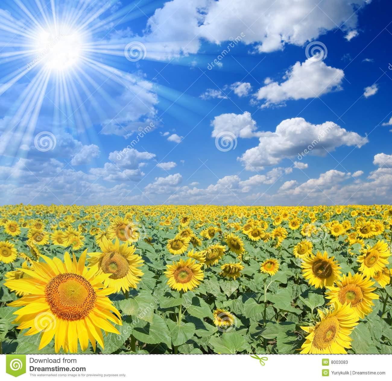 Field Of Sunflowers Stock Photos.